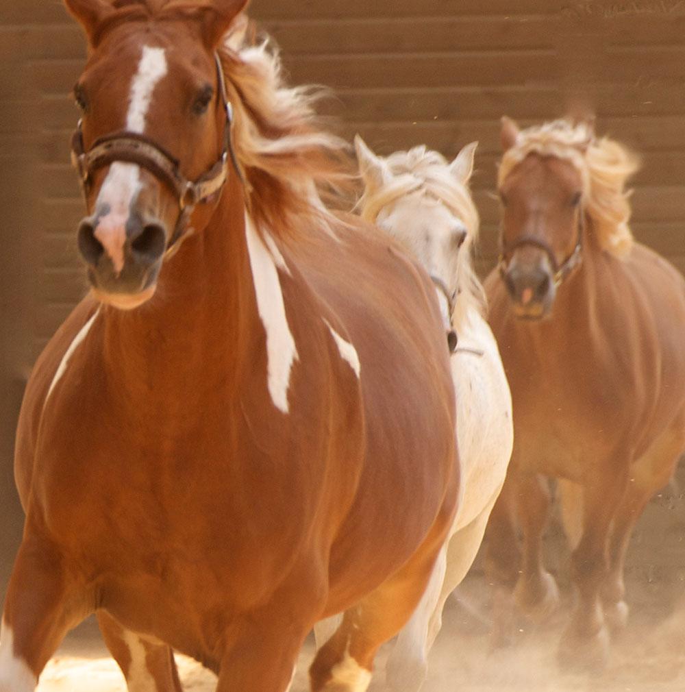 Des chevaux adaptés